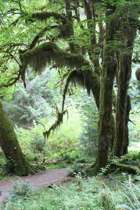 hoh rainforest moss