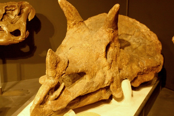 museum of the rockie triceratops